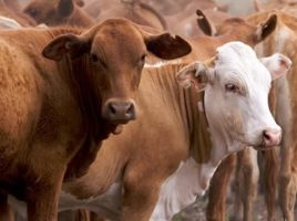 Fit Bits Cattle